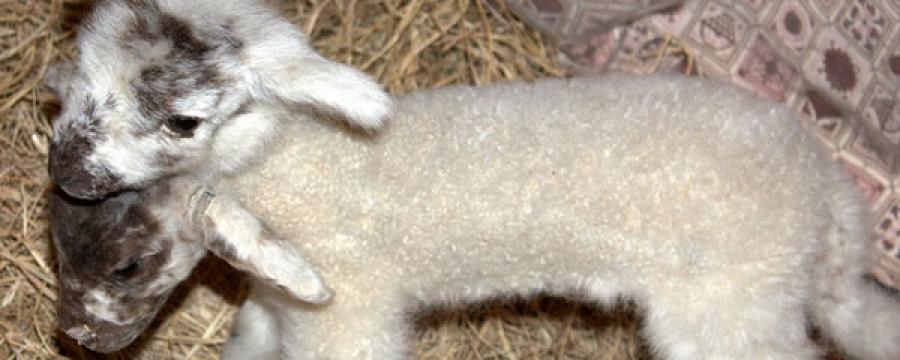 Дорноговь аймагт хүн толгойтой хурга, ишиг гарсан гэв үү