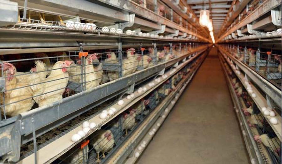 Дотоодын хэрэглээг бүрэн хангах чадал бүхий шувууны ферм ашиглалтад орлоо