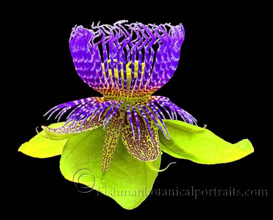 Гайхамшигт цэцэгсийн өнгө-2