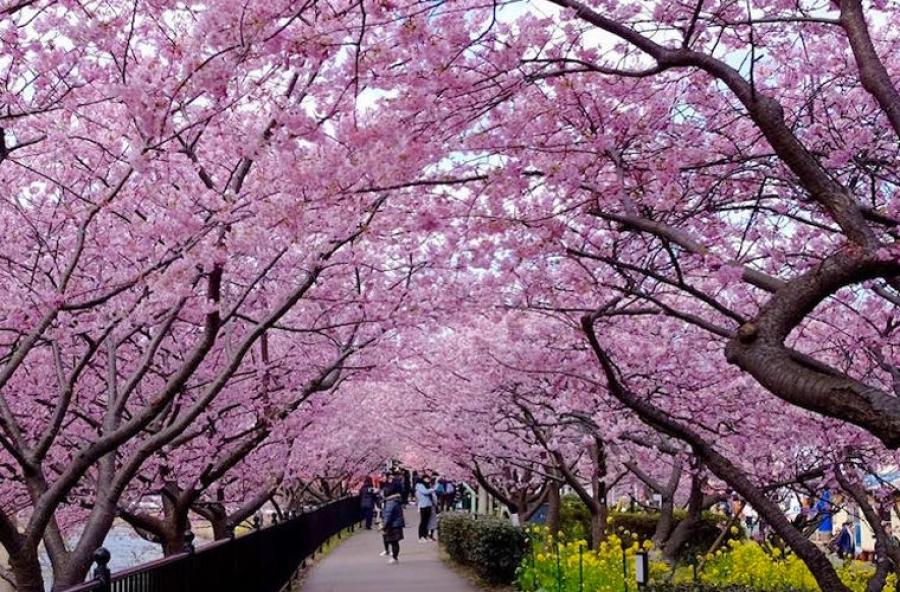 ФОТО: Сакура цэцэглэж эхэллээ