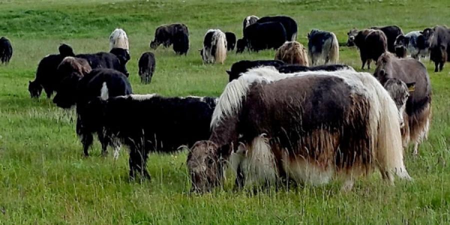 Тайхарын талд Монгол сарлагийг алдаршуулна