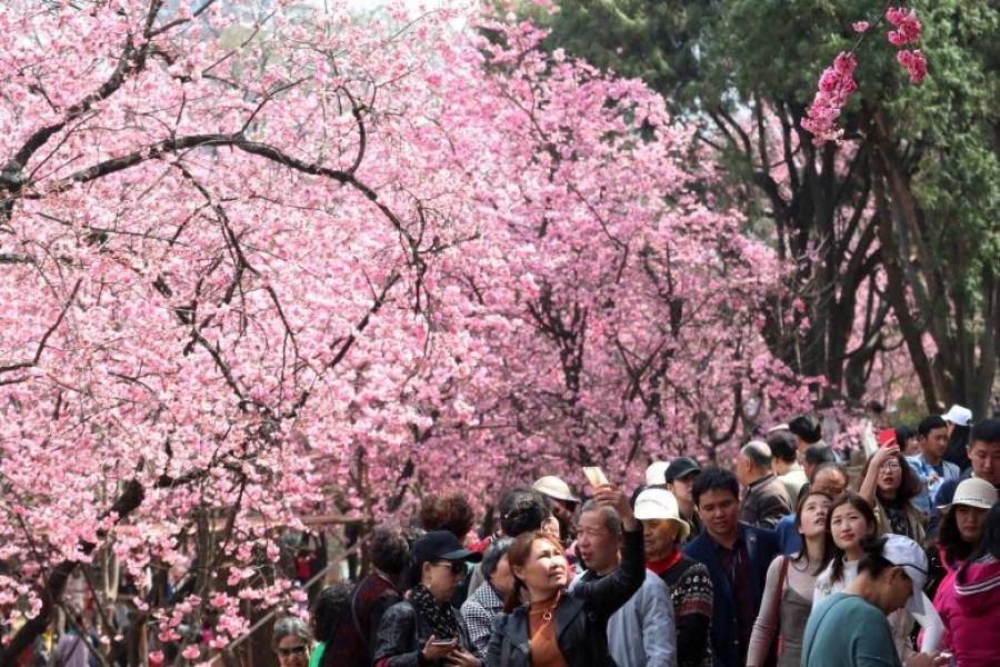 ФОТО: Сакура цэцэглэх мөч