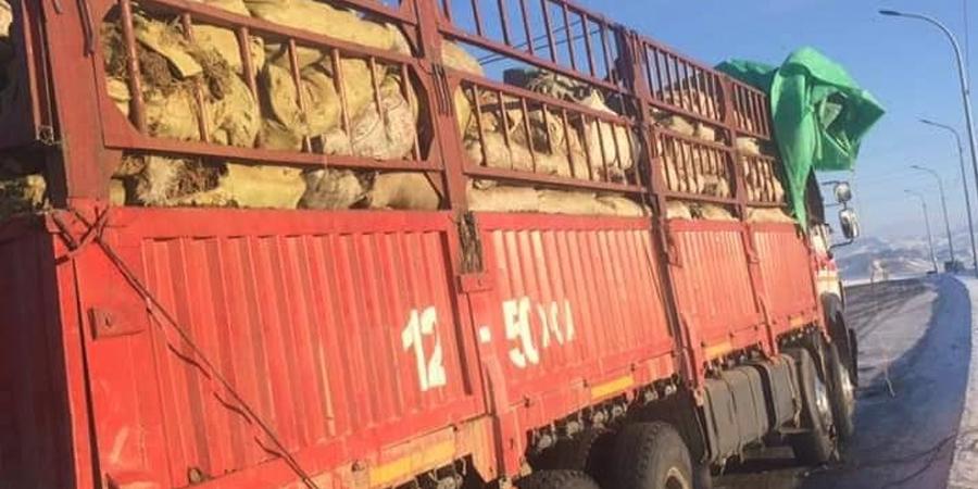 20 гаруй тонн алтайн барагшун тээвэрлэж явсныг илрүүлжээ