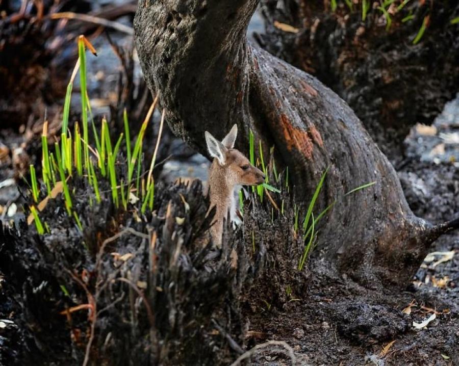Түймэрт сүйдсэн Австралийн байгаль дэлхий сэргэж байна