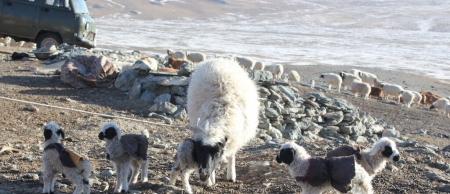 Нэг айлын хоёр хонь таван ихэр хурга гаргажээ