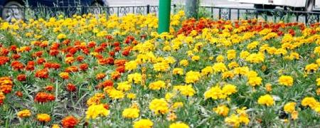 Нийслэл цэцгэн мандлаар гоёж эхэллээ