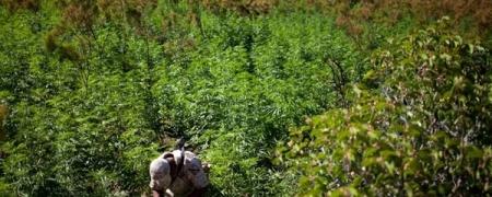 Өвөрмонголд марихуаны том хэмжээтэй талбайг илрүүлэв