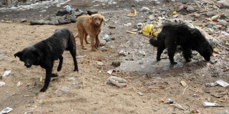 Золбин нохой, муурны устгалын ажлыг хийж байна