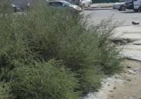 Шарилж, харшил үүсгэгч зэрлэг ургамлыг устгажээ