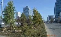 Хотын төвийн гудамжнууд нарс модоор өнгө нэмлээ