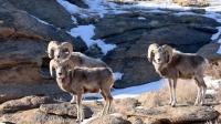 Зудын улмаас нэн  ховордсон амьтад уулнаас бууж байна