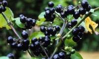 4.0 мянган тонн жимс, жимсгэнэ  хураан авах зорилт дэвшүүлжээ