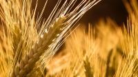 Үр тарианы 90.3 мянган га-д ургац алдах урьдчилсан төлөв гарчээ