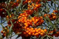 Чацарганы мод тарих, арчлах арга