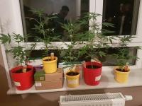 Гэртээ хар тамхины ургамал тарьж байсан этгээдүүдийг саатуулжээ