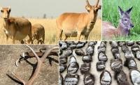 Аврал эрсэн зэрлэг амьтдыг шуналт анчдаас хамгаалъя
