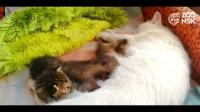ВИДЕО: Гэрийн тэжээвэр муур бяцхан элбэнхүүдийн ээж болжээ