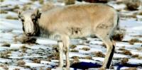 Бог малын мялзан өвчин зэрлэг ан амьтдад аюул учруулж байна