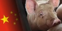 Хятадад гахайн халдварыг хяналтандаа авчээ