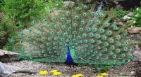 Үзэсгэлэнт тогос шувуу